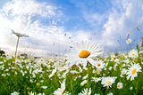 white camomile flower over blue sky