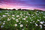 many camomile flowers at dramatic sunset