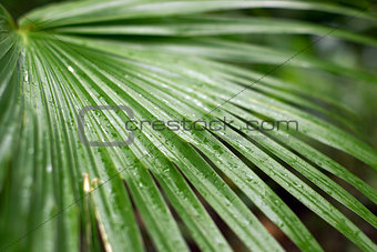A few water drop upon a green palm leaf