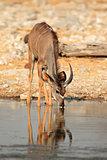 Kudu antelope drinking