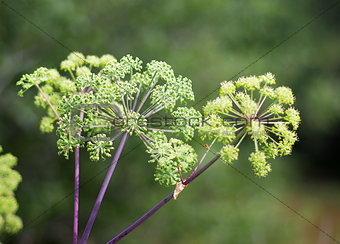 Angelica plan