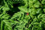Closeup of ladybird on cow parsley