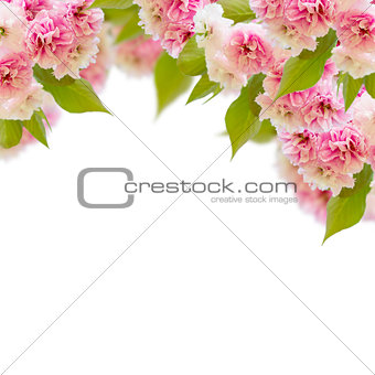 Blossoming cherry tree   Flowers