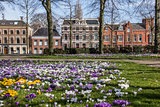 Colorful crocuses at the Ossenmarkt in Groningen