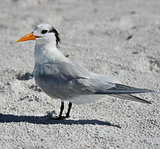 Elegant Tern Seabird