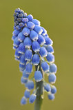A flower of grape hyacinth, macro
