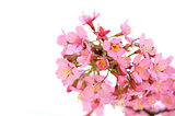 Blossoming  twig with pink flowers on white background