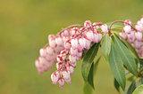 "Pieris japonica or adromeda japonica ""Katsura"""