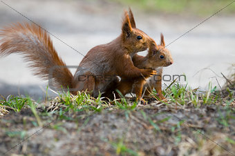 squirrel with its joey