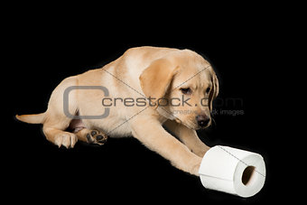 Beautiful Labrador retriever, isolated on black background