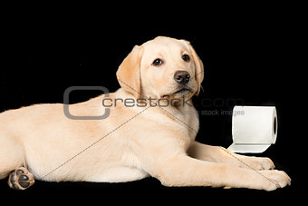 Beautiful Labrador retriever, isolated on black background