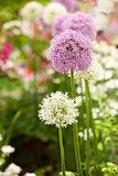 Allium flowers in garden
