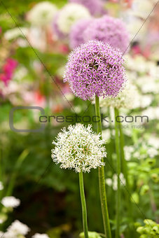 Allium flowers in garden