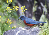 Chestnut-bellied Rock Thrush (Monticola rufiventris) [Male]