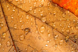 Orange Yellow Fallen Leaves Wet Dew Water Droplets Autumn