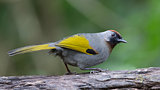 SILVER-EARED LAUGHINGTHRUSH (Trochalopteron melanostigma)