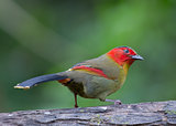RED-FACED LIOCICHLA (Liocichla phoenicea)