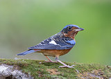 WHITE-THROATED ROCK THRUSH (Monticola gularis)