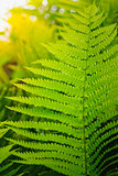 Fresh green fern leaves