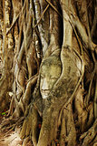 A buddha head inside a tree in Ayudhaya,Thailand.
