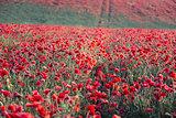 Stunning poppy field landscap