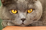 pet - British shorthair cat with orange eyes