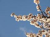 Spring Tree Blossom