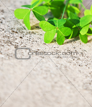 Fresh clover leaves over stone background