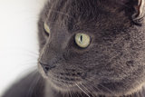 closeup portrait of british shorthair cat