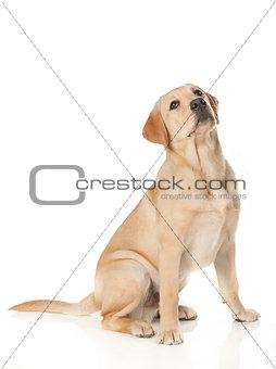 Beautiful Labrador retriever isolated on white background