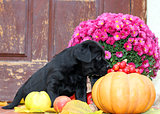 black labrador puppy in autumn