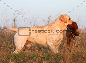 yellow labrador with pheasant