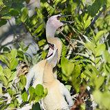 Anhinga Baby Birds