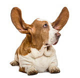 Basset Hound lying with ears up and looking rigth, isolated on w