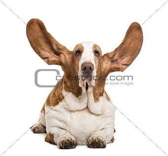 Basset Hound lying with ears up and looking at the camera, isola