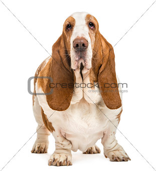 Basset Hound standing and looking at the camera, isolated on whi