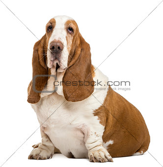 Basset Hound sitting and looking at the camera, isolated on whit