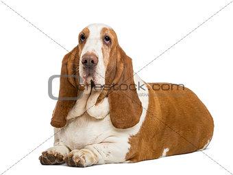 Basset Hound lying, isolated on white