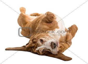 Basset Hound lying on its back, isolated on white