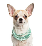 Close-up of a Chihuahua (2 years old) wearing a pearl necklace,