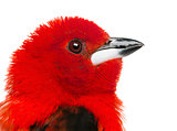 Close-up of a Brazilian Tanager - Ramphocelus bresilius - isolat