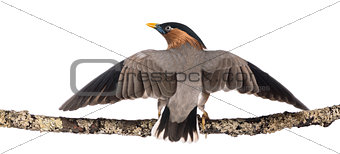 Brahminy Myna fly away from a branch - Sturnia pagodarum - isola