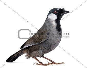Black-throated Laughingthrush - Garrulax chinensis - isolated on