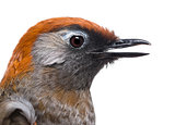 Close-up of a Red-tailed Laughingthrush, side view - Garrulax mi