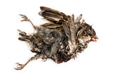 Dead roadkill House Sparrow in state of decomposition, Passer do