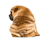 Back view of a Shar pei puppy sitting (11 weeks old) isolated on