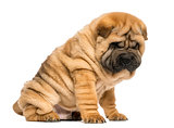 Shar pei puppy sitting; looking down (11 weeks old) isolated on
