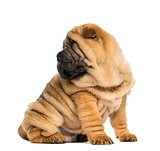 Shar pei puppy, looking back, sitting (11 weeks old) isolated on