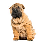 front view of a Shar pei puppy sitting and looking away (11 week