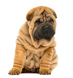 Shar pei puppy sitting and looking down (11 weeks old) isolated